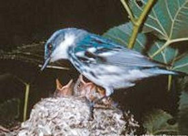 Ozark Land Purchase Protects Brilliant Blue Warblers
