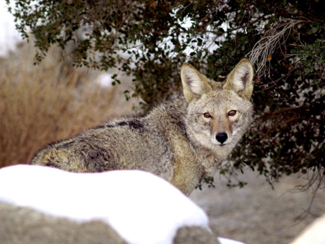 Rowlett Pets Become Easy Prey for Coyotes