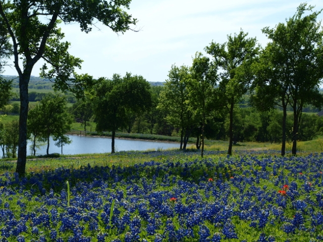 Bluebonnets, Worth the Drive to Ennis