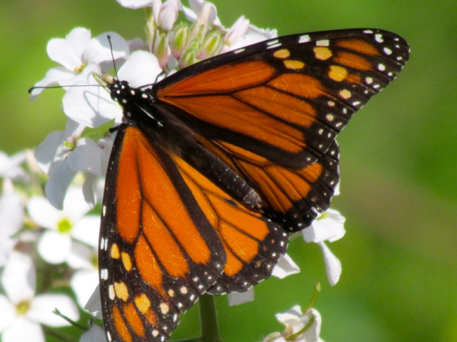 Texas A&M Reports Jump in Number of Monarch Butterflies