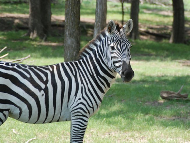 Rules Bypassed Prior to Zebra Death, USDA says