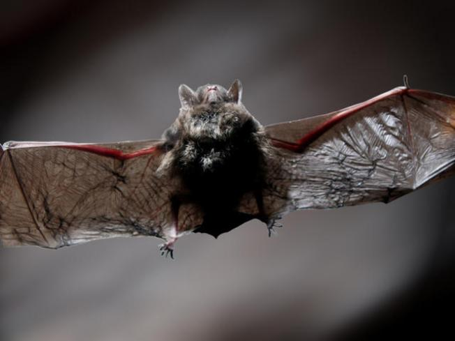 Bat Invasion Sends Students Scrambling