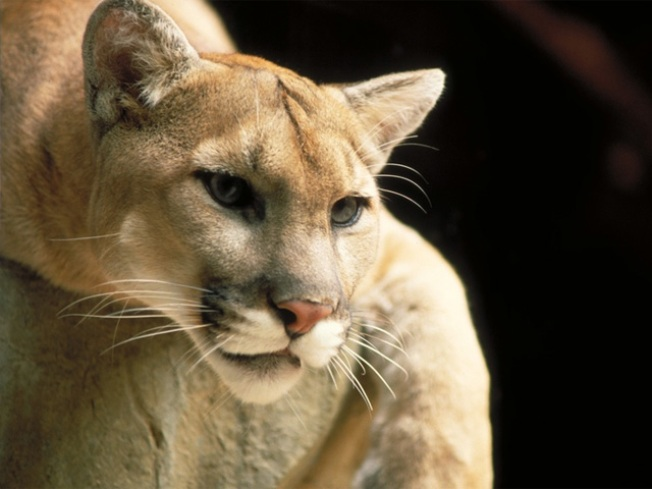 Cougar on the Loose Near San Antonio