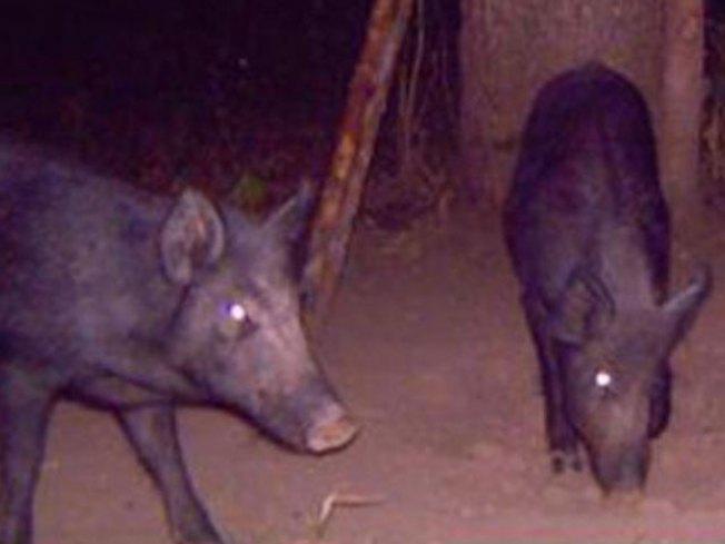 Wild Hogs Invade Suburbs