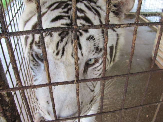 Exotic Cat Sanctuary Saves Six Tigers