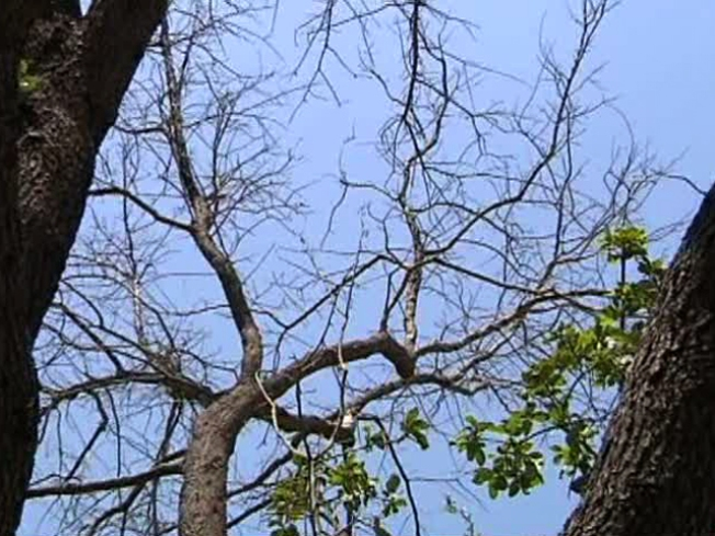 Deadly Fungal Disease Sprouts on North Texas Trees