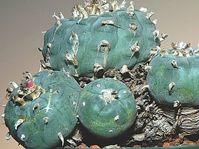 Scarcity of Peyote Means Hard Times for Dealers