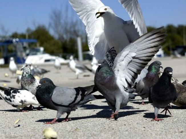 Counter Intelligence: Pigeons Are Faster Than the Interwebs