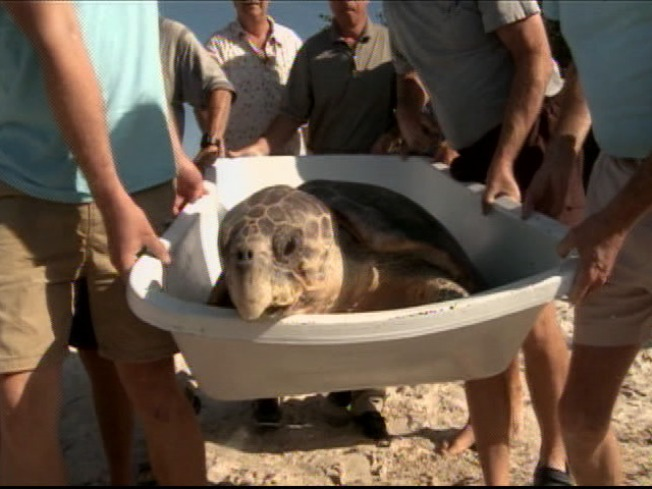 Constipated Sea Turtle Released in the Keys