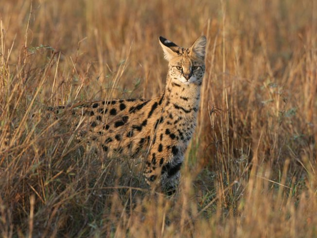 Wildcat Missing in Collin County