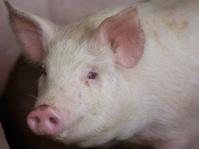 Fire Kills School's Two Dozen Pigs