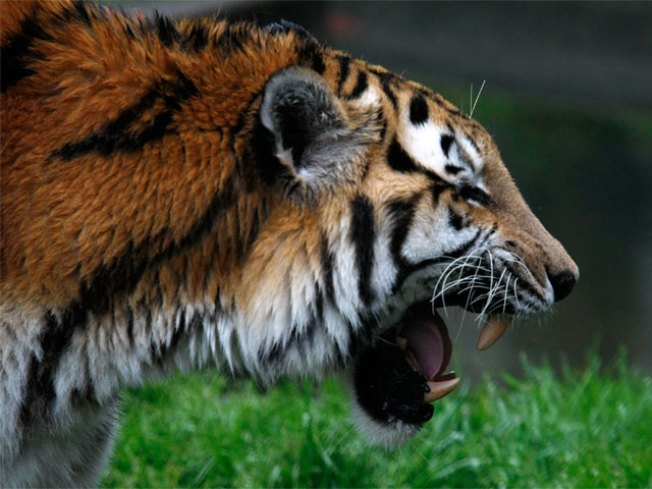 Missing Tiger Found in Van Zandt County
