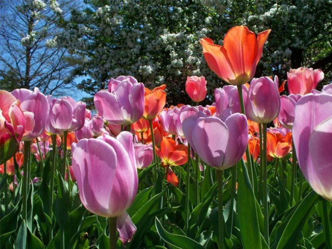 Addison Blitz-Plants Tulips for Spring Tiptoeing