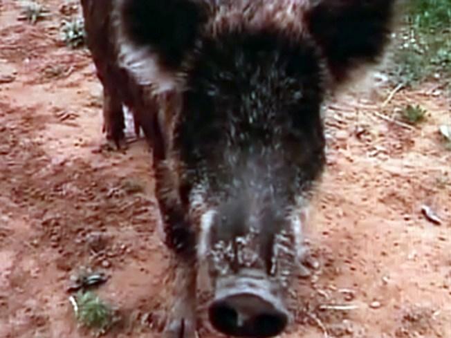 Makin' Wild Bacon