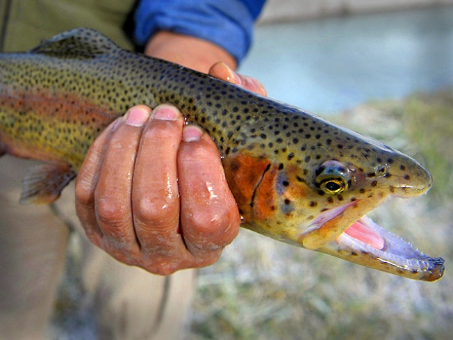 Angling for Trout