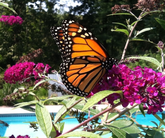 Federal Funds Aims to Boost Migrating Monarch Butterflies