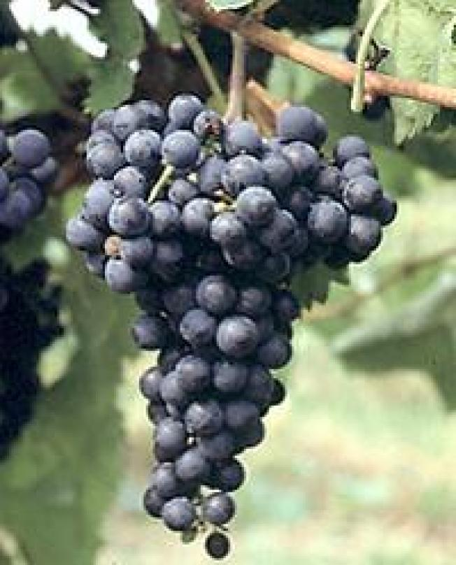 Midwest Wine Industry Needs New Herbicide-resistant Grape