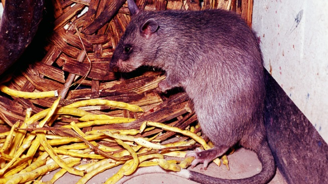 Keys Battle Cat-Sized Rats' Invasion