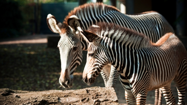 Man Busted After Driving Zebra to Bar