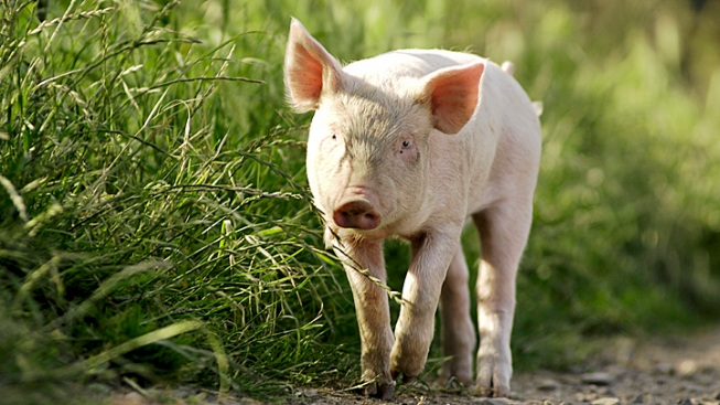 Scarf-Wearing Pig Escapes Into Woods