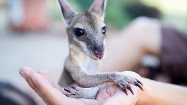 Texas Family Wins Fight to Keep Baby Kangaroo