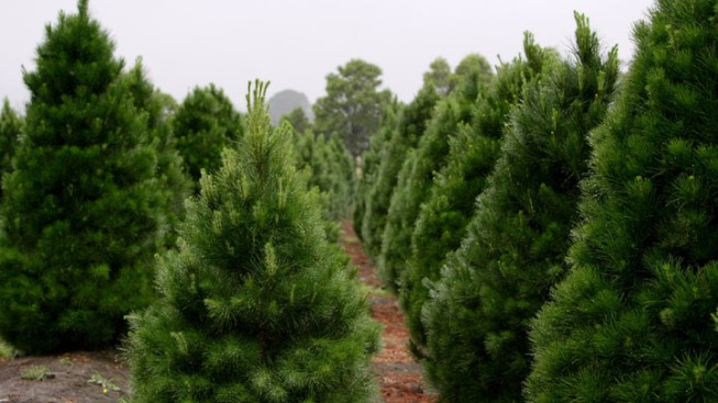 Oregon Christmas Tree Harvest Headed to North Texas