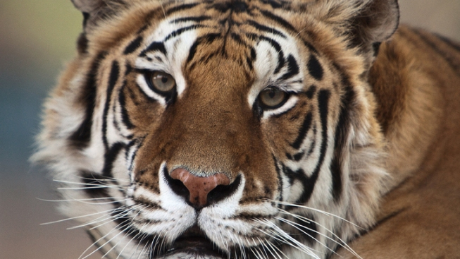 Michael Jackson's Tiger Dies of Lung Cancer