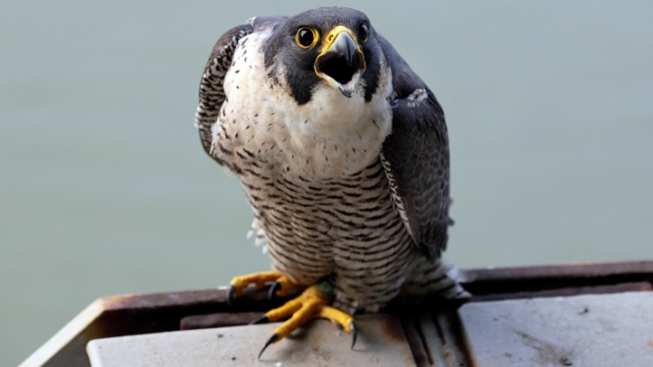 Big Bend National Park to Close Some Areas for Nesting Peregrine Falcons