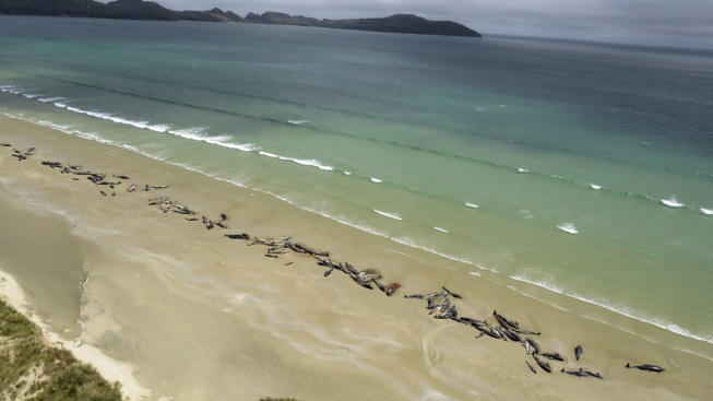 145 Pilot Whales Die in Stranding on New Zealand Beach