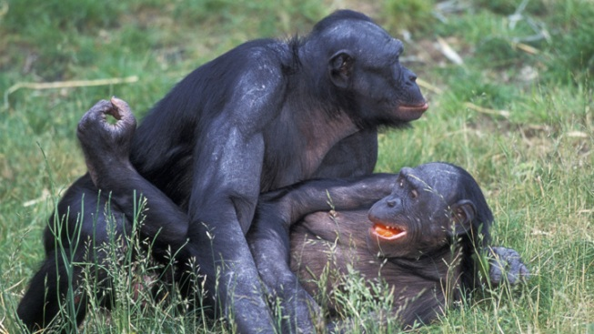 Female Bonobos Flaunt Same-Sex Encounters to Boost Social Status