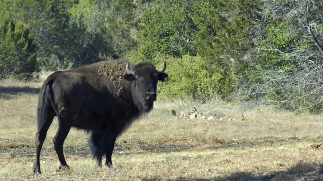 Bison Breaks Loose, Wildflower Hiking Trails Closed