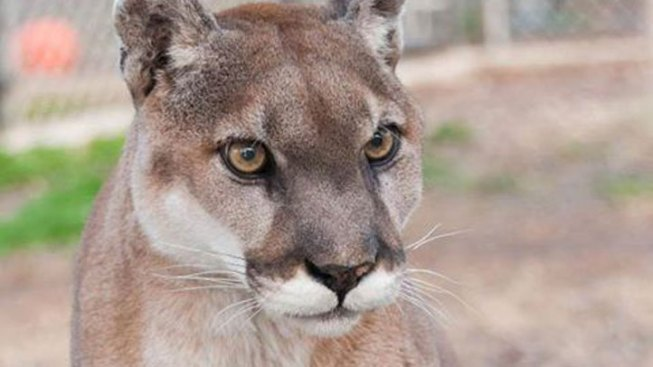 Cougar Dies at Wylie Sanctuary