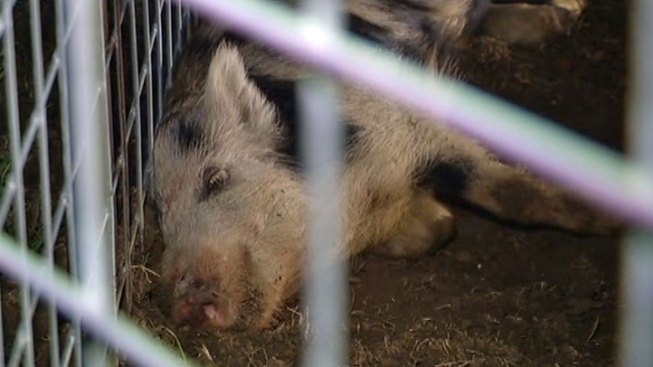 Some Harris Co. Feral Hogs Head to Food Banks