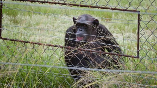 Loose Chimpanzees Roam Las Vegas, Baffle Locals