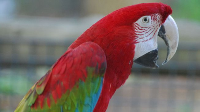 Macaw Named Curly Found