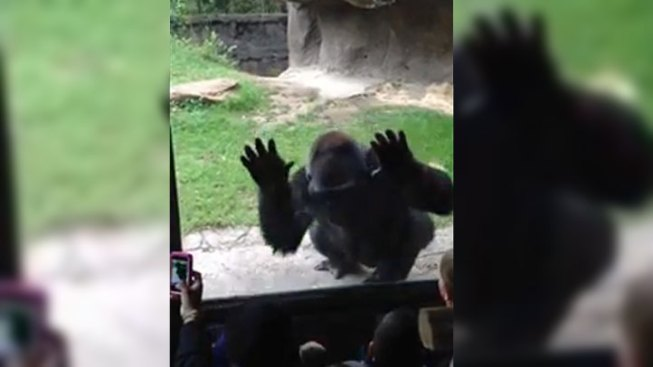 WATCH: Dallas Zoo Gorilla Gets Last Laugh