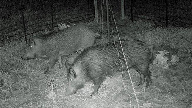Texas Senate Approves Hunting Feral Hogs by Hot Air Balloon