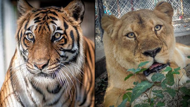 Two Big Cats at In-Sync Exotics Die From Distemper