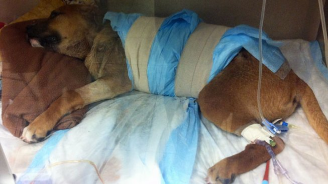 """Partially Skinned Puppy's Injuries From """"Non-Human Predator"""": Dallas Animal Services"""