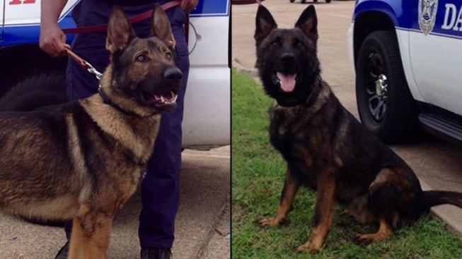 Meet Dallas' Newest K9 Officers