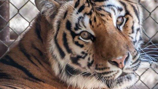 Fifth Big Cat Dies of Distemper at In-Sync Exotics