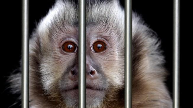 7 Hurt After Mob of Wild Monkeys Attacks Village