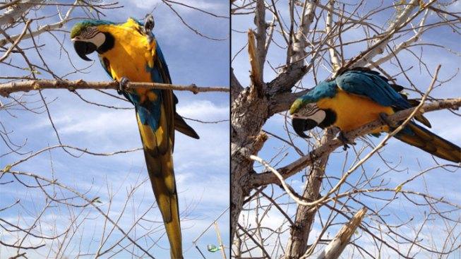 Stolen Arlington Parrot Found in Hurst