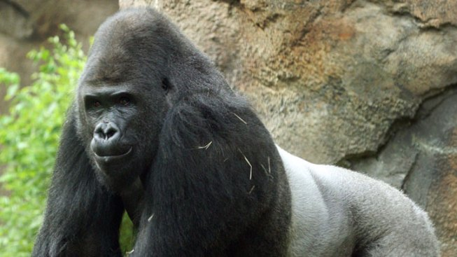 Gorilla Matchmaking Lands at the Dallas Zoo