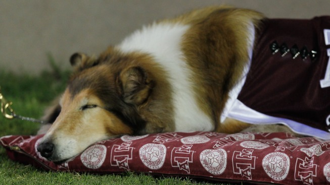 Missing Painting of Texas A&M Mascot Reveille I Recovered