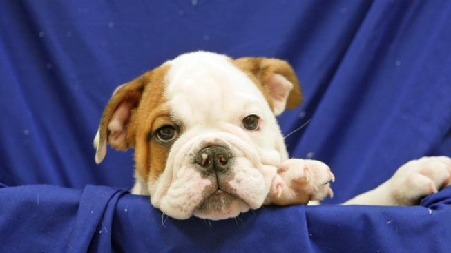 Police Blotter: Puppy Theft Caught On Tape