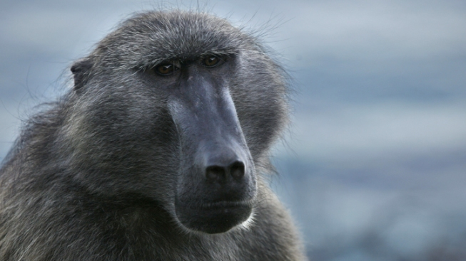 Baboon on the Lam Nabbed in NJ