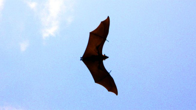 Texas Drought Affecting Food for Bats in Austin