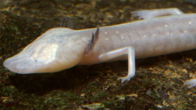 Blind Salamander Added to Endangered Species List
