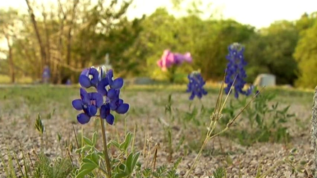Q: Picking Bluebonnets is Against the Law?